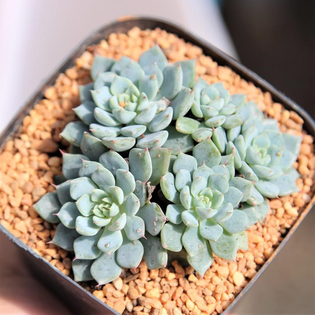 Echeveria  Blue minima 4 Inch Muti Head กุหลาบหินนำเข้า ไม้อวบน้ำ. Imported Live Succulents plant