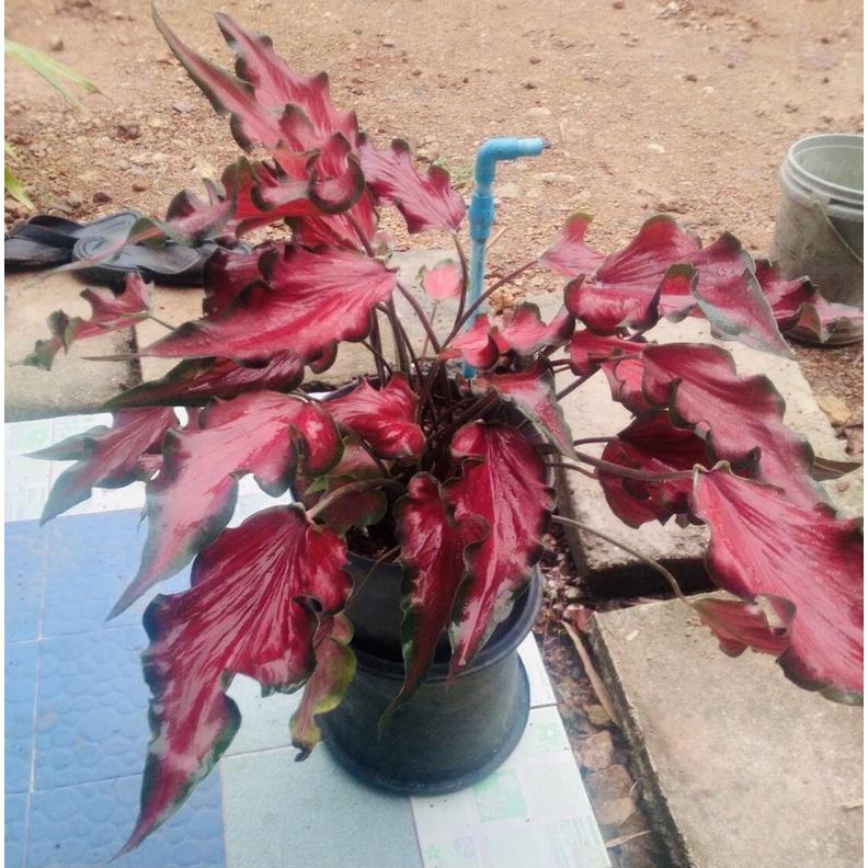 บอนสีต้นไม้มงคลกวนอู ง้าวกวนอูบอนสีแดง