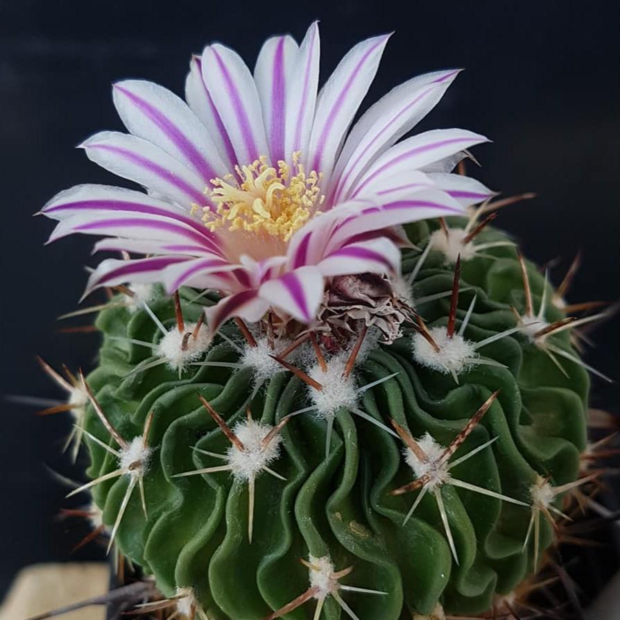 🌵เมล็ด Echinofossulocactus phyllacanthus เมล็ดกระบองเพชร ไม้อวบน้ำ Cactus & Succulent (15 เมล็ด)