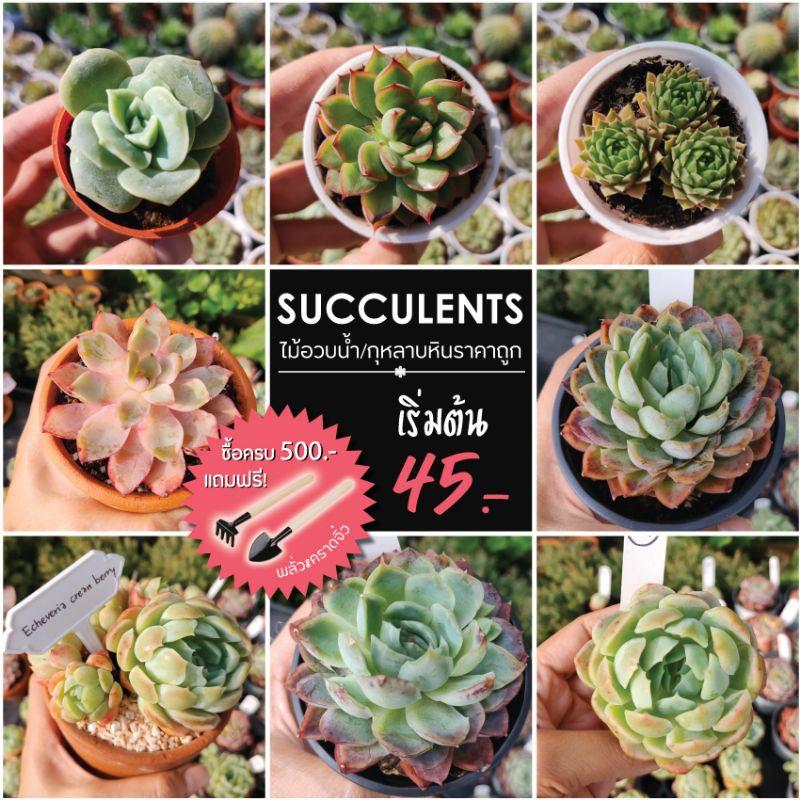 กุหลาบหิน ไม้อวบน้ำนำเข้า succulents ราคาถูก ซื้อครบ 500 บาท แถมฟรี พลั่ว&คราดจิ๋ว