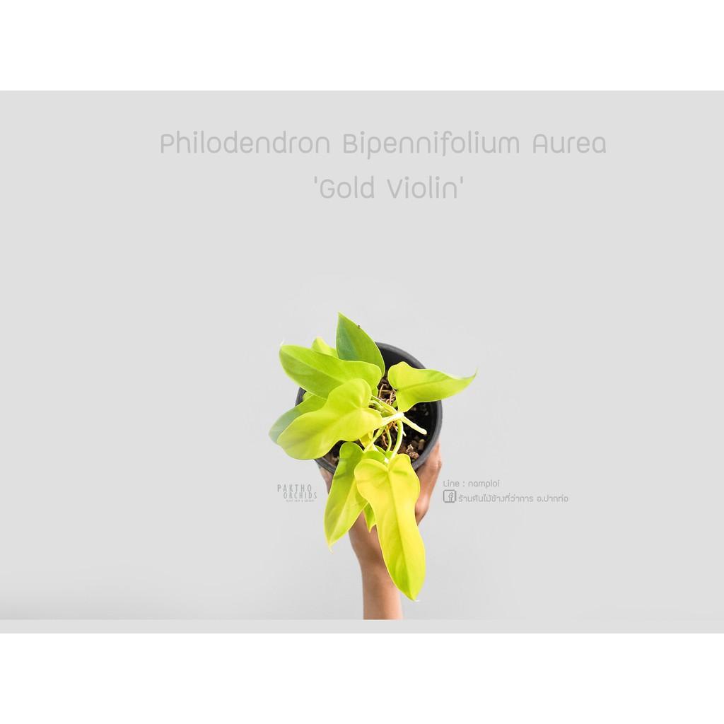 philodendron golden violin ฟิโลเดนดรอน ไวโอลินสีทอง Philodendron Bipennifolium Aurea