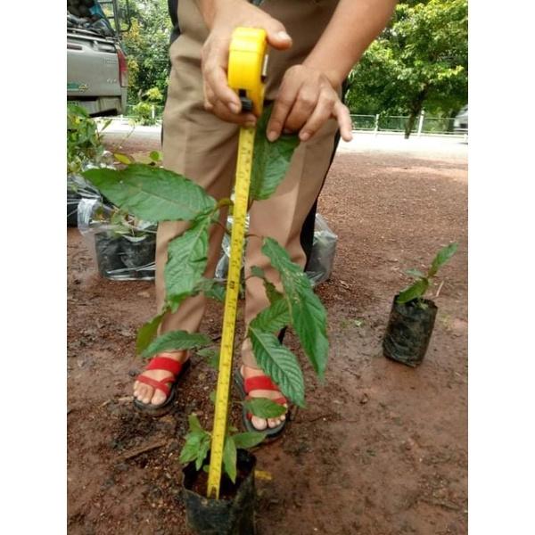 ต้นกระท่อมขนาดจัมโบ้ ต้นใหญ่สูงเพาะเมล็ด ต้นกระท่อมก้านแดง แข็งแรงใบเขียว