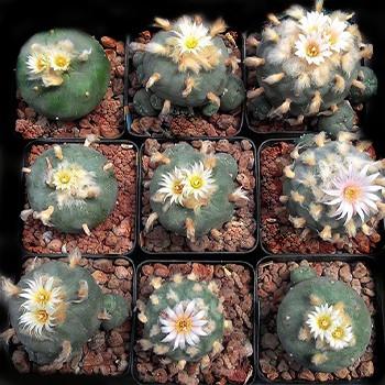 กระบองเพชร ไม้อวบน้ำ แคคตัส cactus succulent seeds เมล็ดพันธุ์ Lophophora mixed