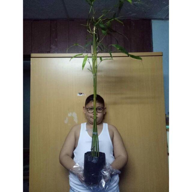 💁#ต้นไผ่ซางหม่น #ไผ่ซางหม่น
