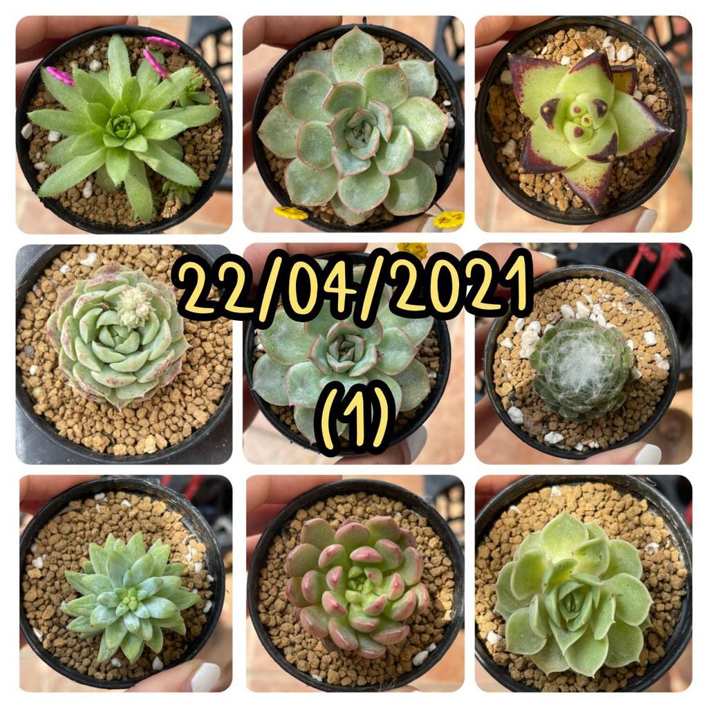 กุหลาบหิน ไม้อวบน้ำ Succulent(1)
