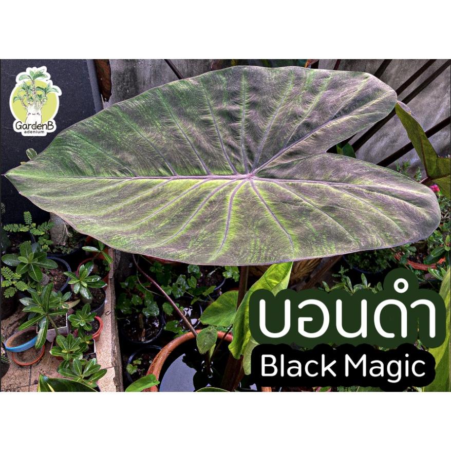 บอนดำ Black Magic / บอนแบล็คเมจิก / Colocasia Black Magic