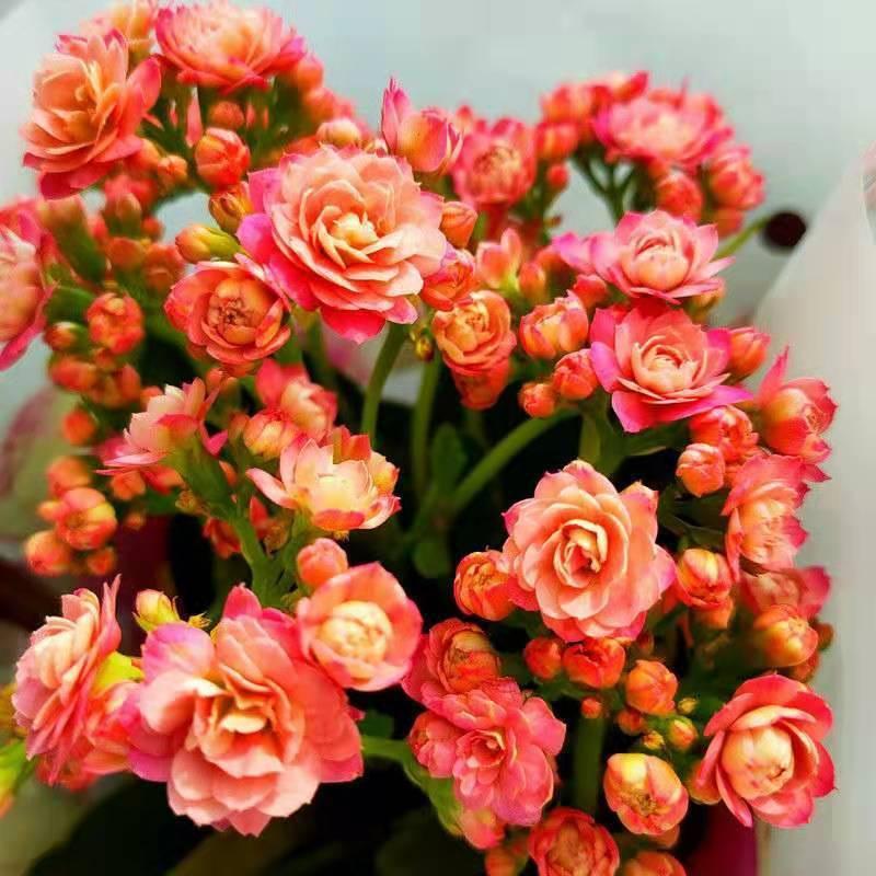 ไม้กระถาง☃ดอกไม้อายุยืนสองกลีบมีดอกตูมต้นกล้าขนาดใหญ่พืชสีเขียว อวบน้ำออกดอกสี่ฤดูต้นกล้าใหญ่ Flower Indoor Good Plants