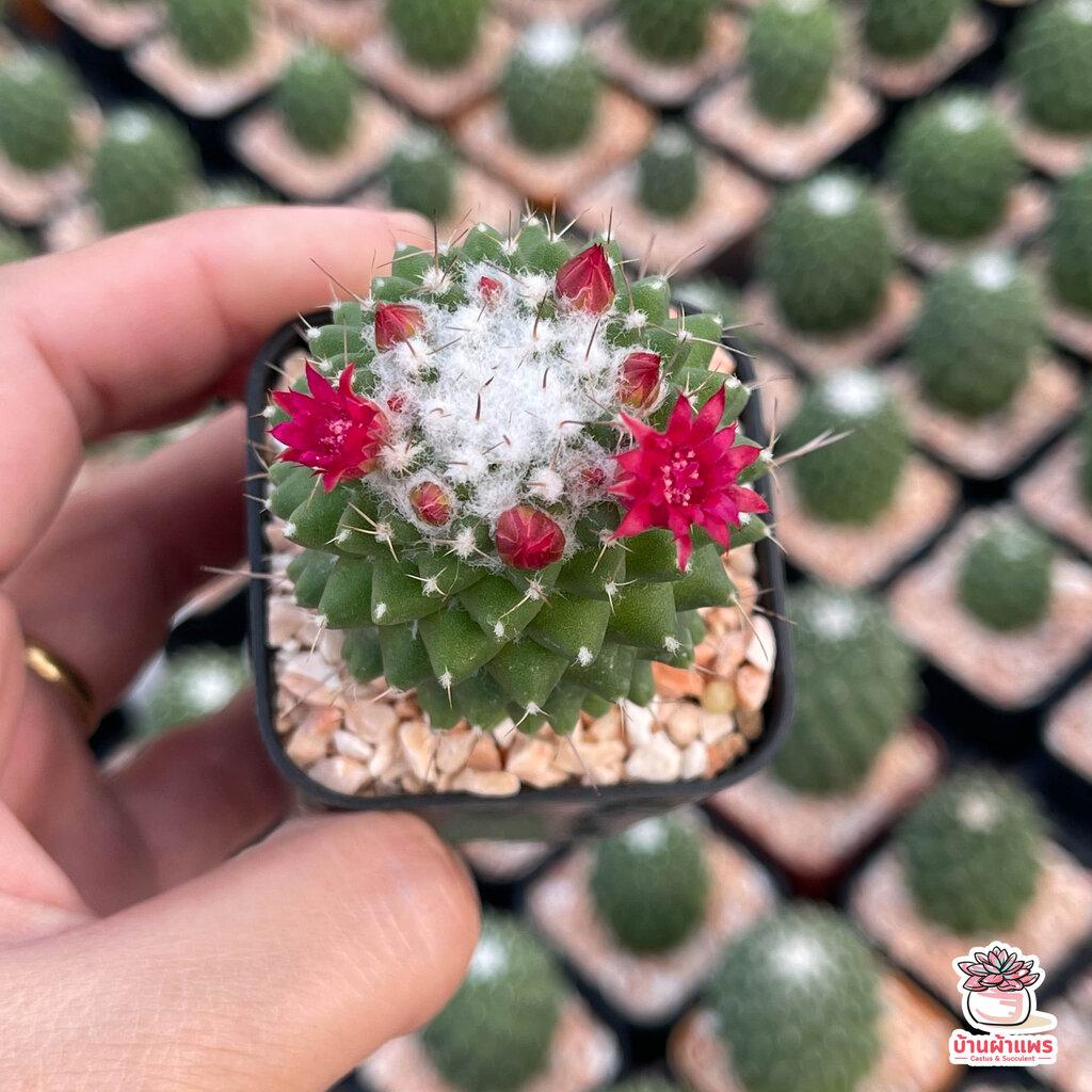 แมมเฮเลน Mammillaria Vagaspina Helen ไม้อวบน้ำ กุหลาบหิน cactus&succulent
