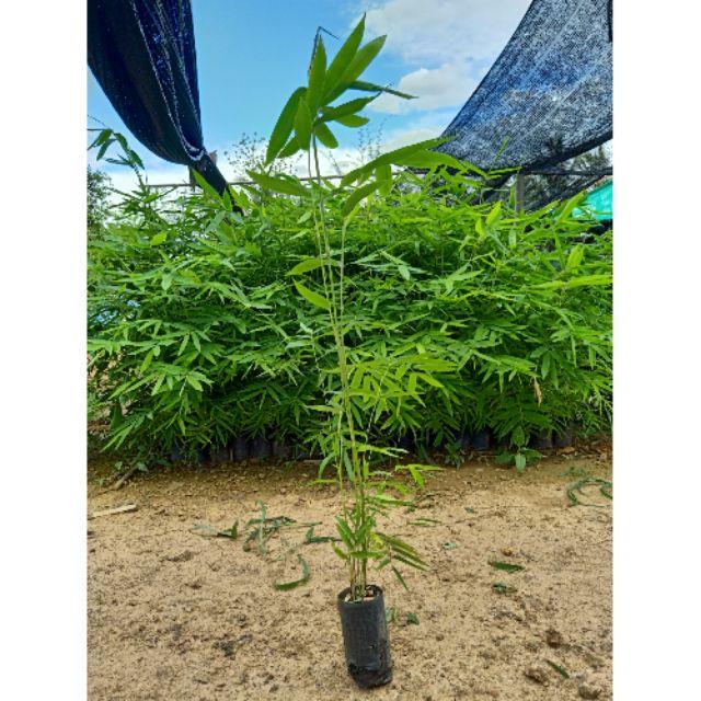 ต้นกล้า ไผ่ซางหม่น แท้ เพาะจากเมล็ด ขนาด ต้น 30-50 ซม พร้อมปลูก