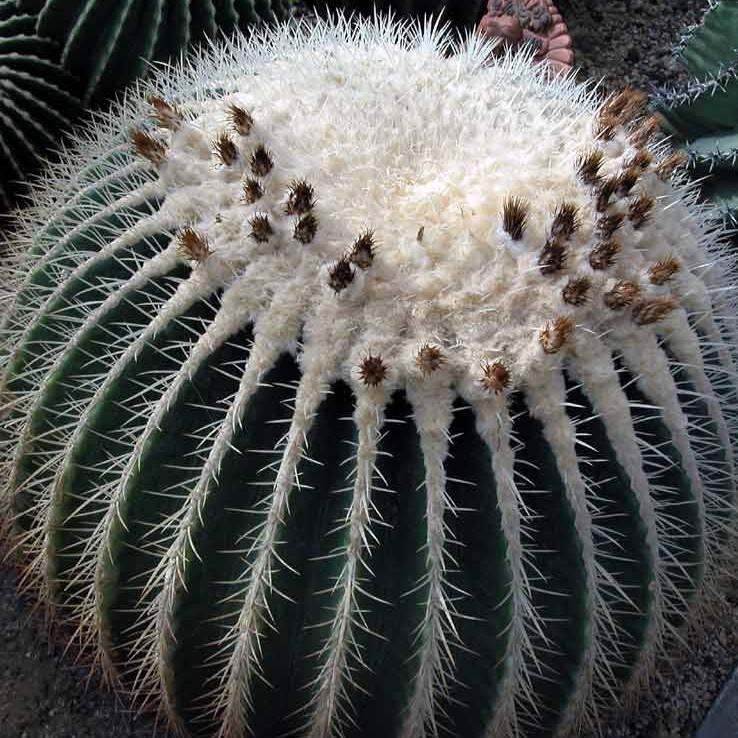🌵เมล็ด Echinocactus grusonii v alba (ถังเงิน)  เมล็ดกระบองเพชร ไม้อวบน้ำ Cactus & Succulent (15 เมล็ด)