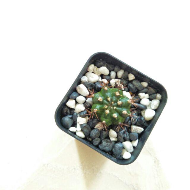 🌵 กระบองเพชร ยิมโน แคคตัส cactus Gymno 🌵
