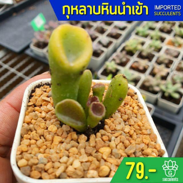 Crassula oblique 'Gollum' Single 2 Inch G Succulents กุหลาบหินนำเข้า ไม้อวบน้ำ