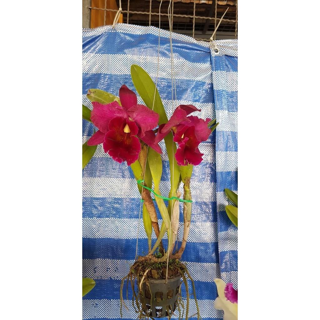 """ต้นกล้วยไม้ แคทลียา (Cattleya)"""" ราชินีแห่งกล้วยไม้ สีม่วงเข้มออกแดง ไม้พร้อมให้ดอก ดอกใหญ่พิเศษ ดอกหอม ออกดอกตลอด เลี้ยง"""