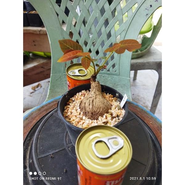มะยมเงินมะยมทอง หมายเลข 3 [ส่งทั้งกระถาง ขนาดหัว ~5 เซนติเมตร] ไม้จิ๋ว ไม้โขด ไม้มงคล แคคตัส ไม้อวบน้ำ Minimal ตกแต่งสวน