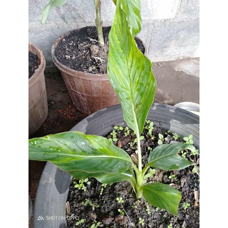 #กล้วยด่าง ต้นสูง40cm