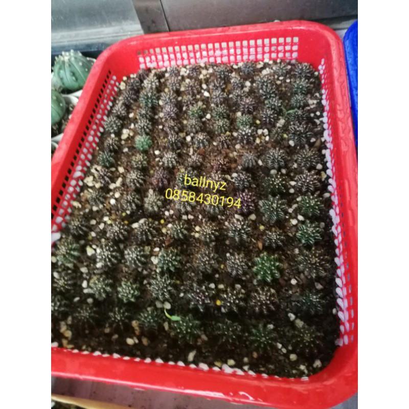 ยิมโนมิฮาโนะ-LB hybrid เชื้อด่าง (cactus Gymno)