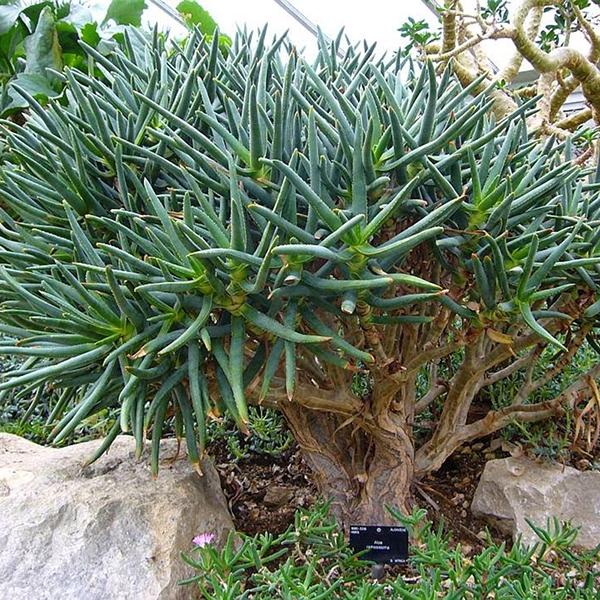 Aloe ramosissima (เมล็ดพันธุ์ไม้อวบน้ำ)
