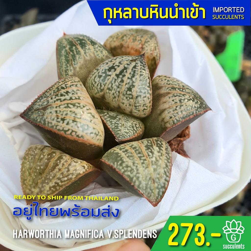 (ไม่มีราก) สินค้าใหม่ พึ่งนำเข้า Haworthia Magnifica var. Splendens G succulents กุหลาบหินนำเข้า ไม้อวบน้ำ