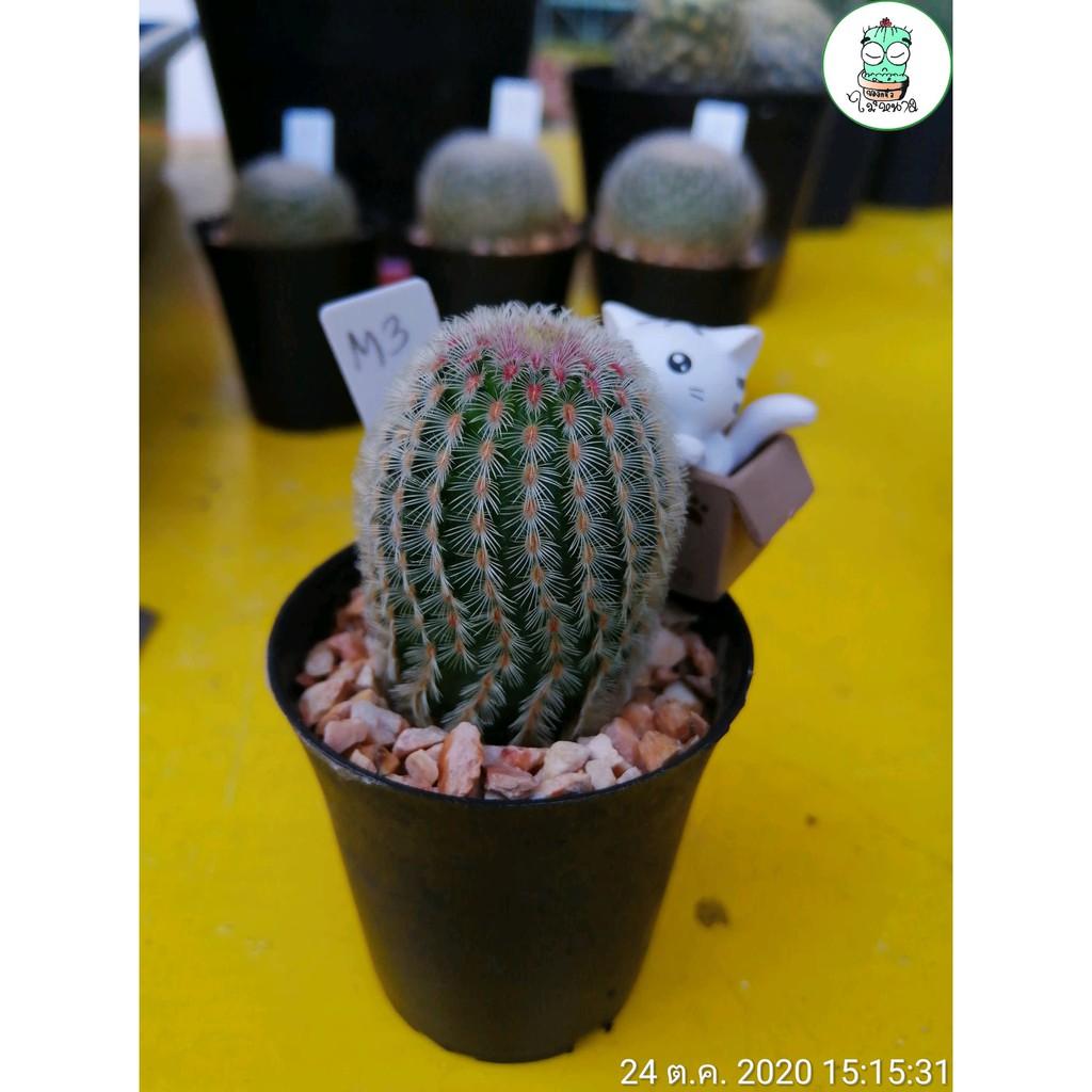 """""""เรนโบว์"""" แคคตัส (Rainbow Cactus) กระบองเพชรหนามชมพู"""