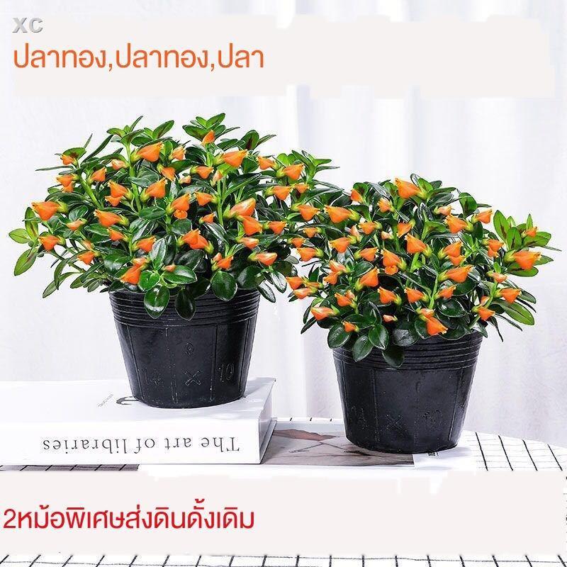 หม้อฉ่ำ☫◄✻Jucai Goldfish Chlorophytum Succulent Plant ระเบียงในร่มห้องนั่งเล่นกระถางต้นไม้โชคลาภต้นไม้อวบน้ำต้นไม้เงิน