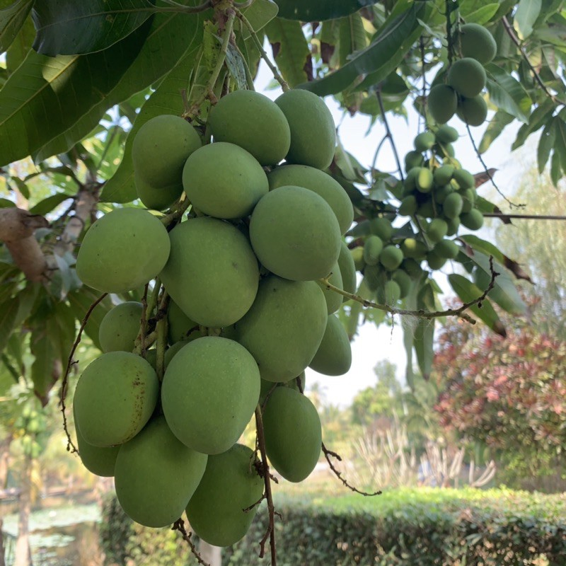 มะม่วงเบาสดเปรี้ยวจี๊ดจิ้มกะปิทานเพลินส่งจากสวนในกรุงเทพฯ