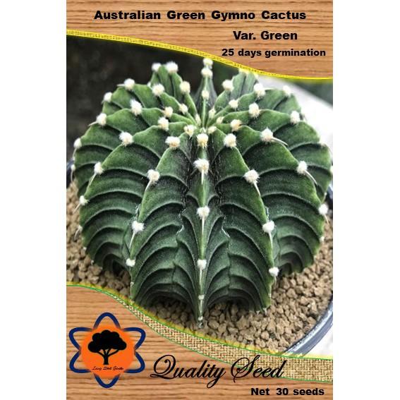 เมล็ดกระบอกเพชรยิมโนสีเขียวออสเตรเลีย Australian Green Gymno Cactus ไม้อวบน้ำ