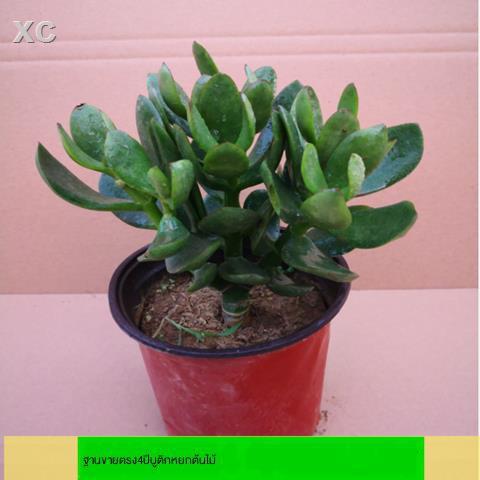 หม้อฉ่ำ﹉ต้นกล้า Yushu, กองเก่า, ใบใหญ่, ไม้ดอกยูคาลิปตัส, พืชอวบน้ำ, พืชสีเขียวและดอกไม้ในห้องนั่งเล่นในร่ม, จัดส่งฟรี