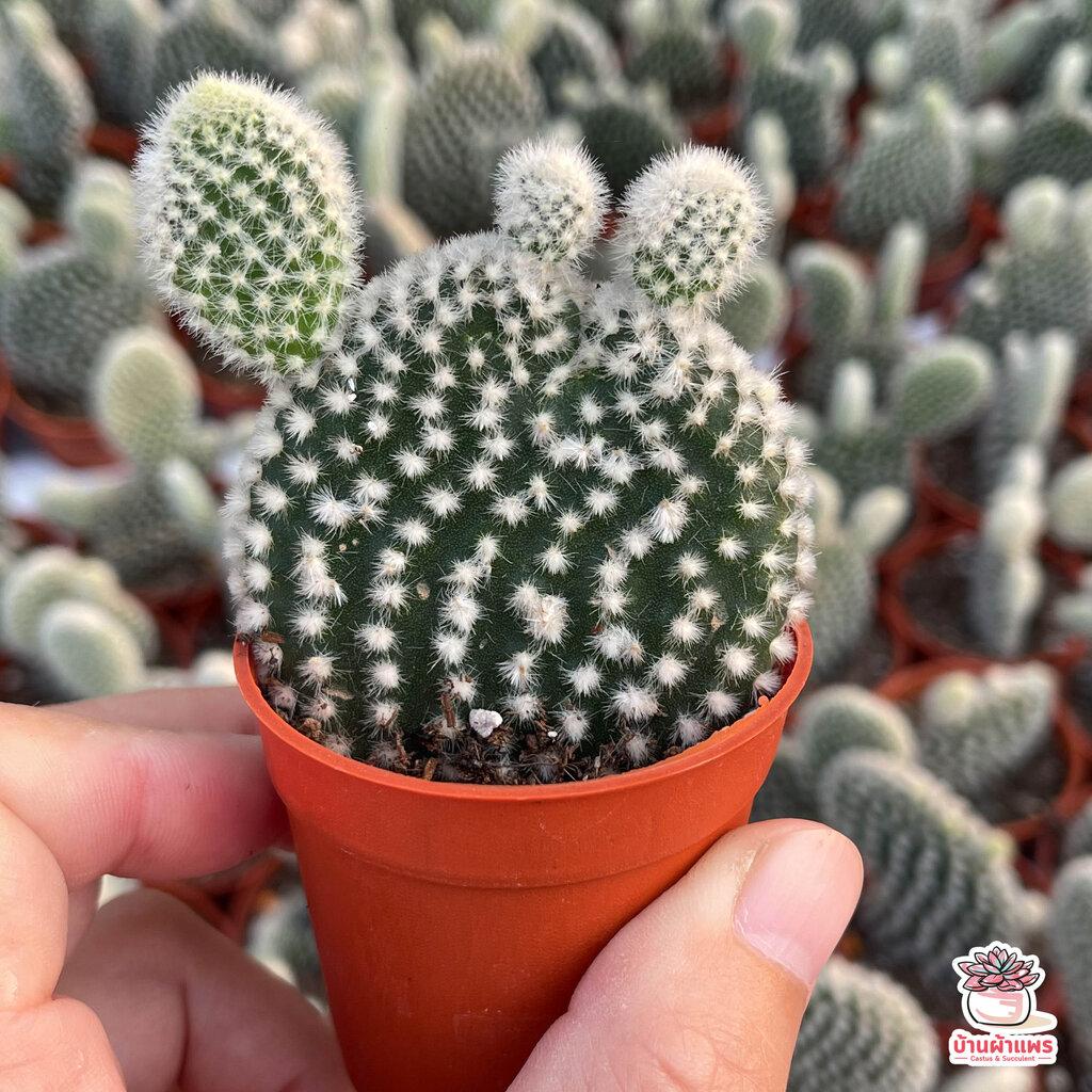 หูกระต่ายสีขาว Opuntia Microdasys ไม้อวบน้ำ กุหลาบหิน cactus&succulent