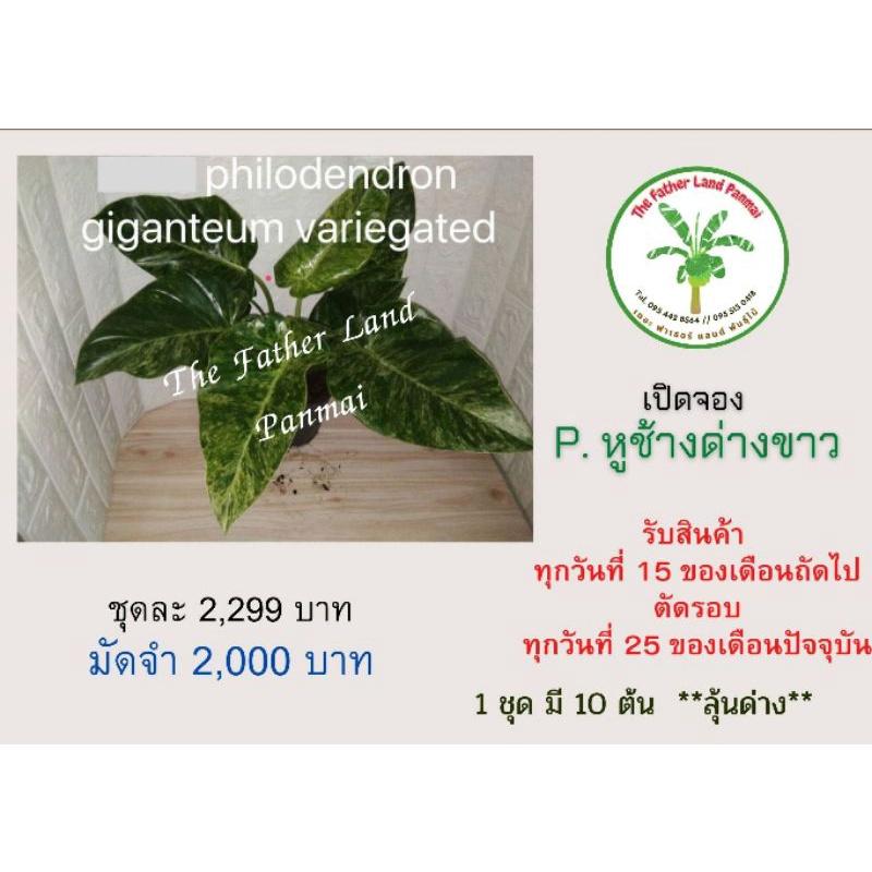 เปิดจอง เนื้อเยื่อ Philodendron Philodendron Giganteum ( หูช้างด่างขาว )