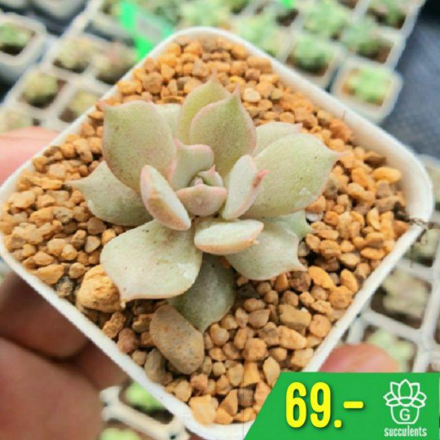 Echeveria Lola Single 2 Inch G Succulents เชียงใหม่ กุหลาบหินนำเข้า ไม้อวบน้ำ