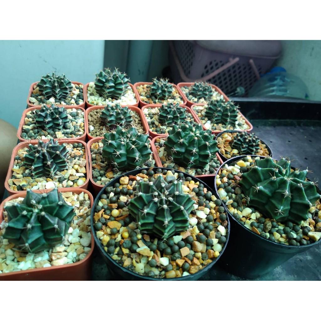 ยิมโน Gymnocalycium #แคคตัส #กระบองเพชร#ไม้อวบน้ำ