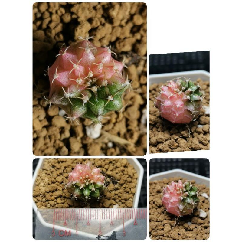 ยิมโนด่าง ไม้เมล็ด 1ต้น  กระบองเพชร cactus แคคตัส ไม้อวบน้ำ ยิมโนด่าง ไม้ด่าง