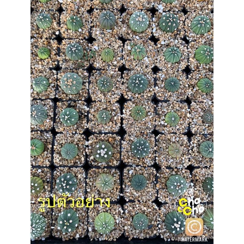 ต้นกระบองเพชร แคคตัส Cactus 🌵แอสโตรไฟตัม Astrophytum คละแบบ นูดัม,แอสทีเรียส