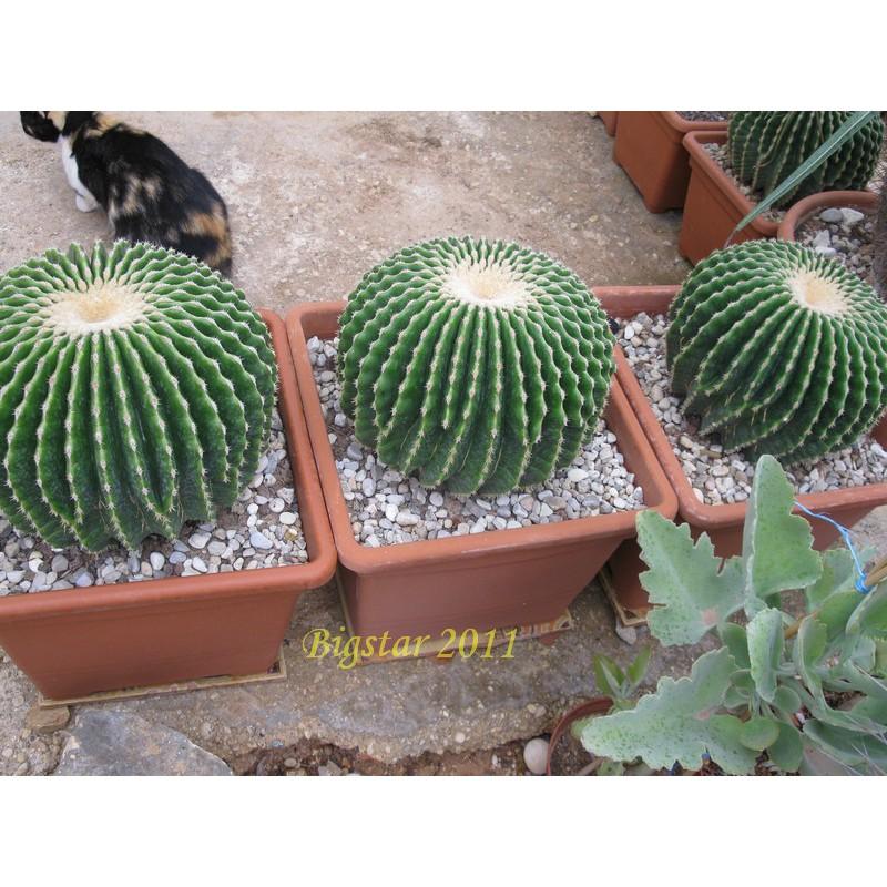 กระบองเพชร ไม้อวบน้ำ cactus succulent seeds เมล็ดพันธุ์แคคตัส Echinocactus grussonii v inermis