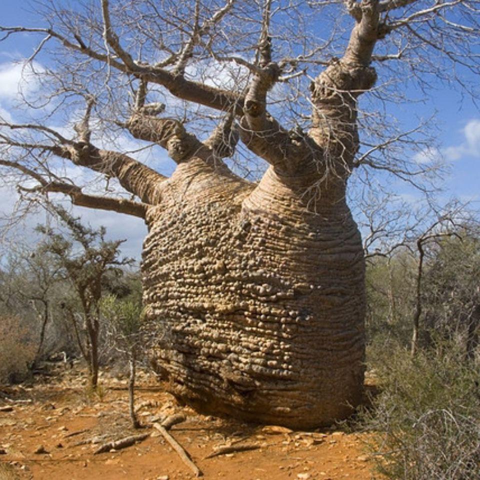 ◙พันธุ์ไม้นำเข้า เมล็ดพืชอวบน้ำ เมล็ดเบาบับ ผลเบาบับ ต้นลิง ต้นโบบับ