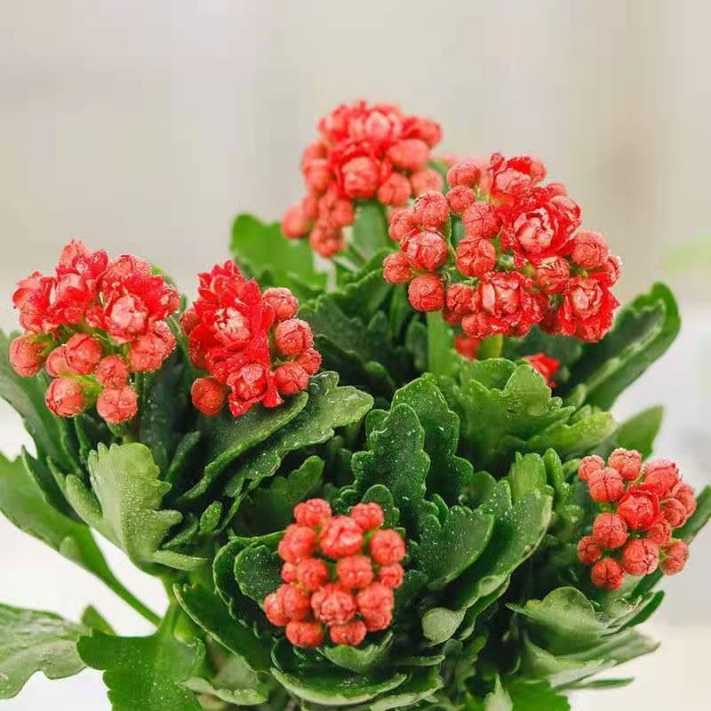 ไม้กระถาง☒☏ดอกไม้อายุยืนสองกลีบมีดอกตูมต้นกล้าขนาดใหญ่พืชสีเขียว อวบน้ำออกดอกสี่ฤดูต้นกล้าใหญ่ Flower Indoor Good Plants
