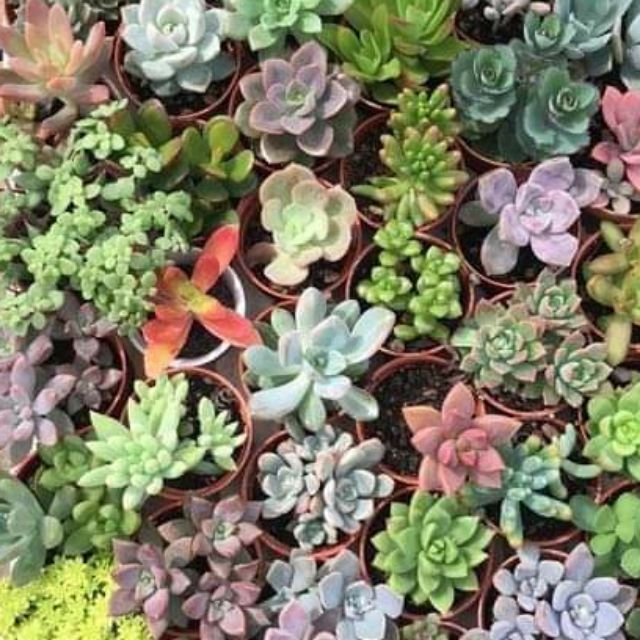 (ชุด1 ) กุหลาบหิน ไม้อวบน้ำ succulents 🌸🌸🌵