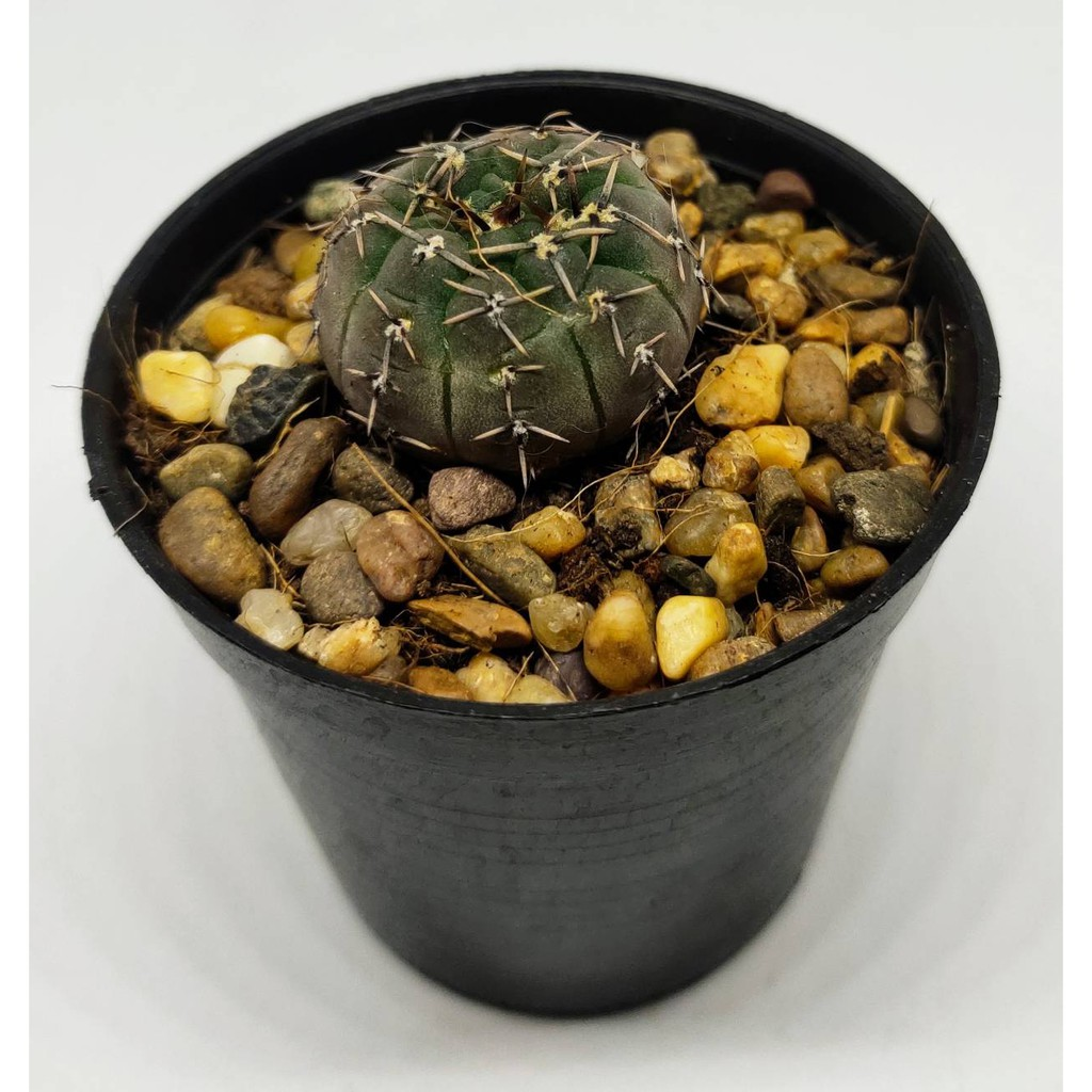 ยิมโนออกโซหัวม่วง   ขนาดประมาณ 3 CM   (Gymnocalycium ochoterenae) #cactus #แคตตัส #กระบองเพชร #ไม้อวบน้ำ
