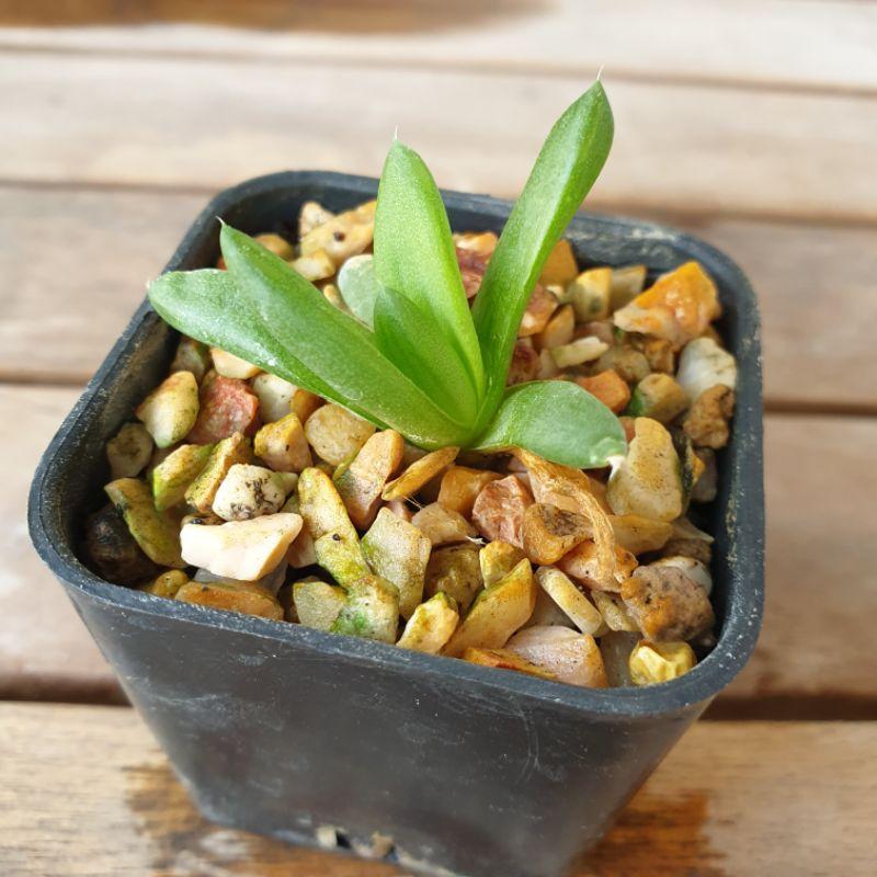 ต้นไม้ ไม้อวบน้ำ (Succulent) เลี้ยงง่าย