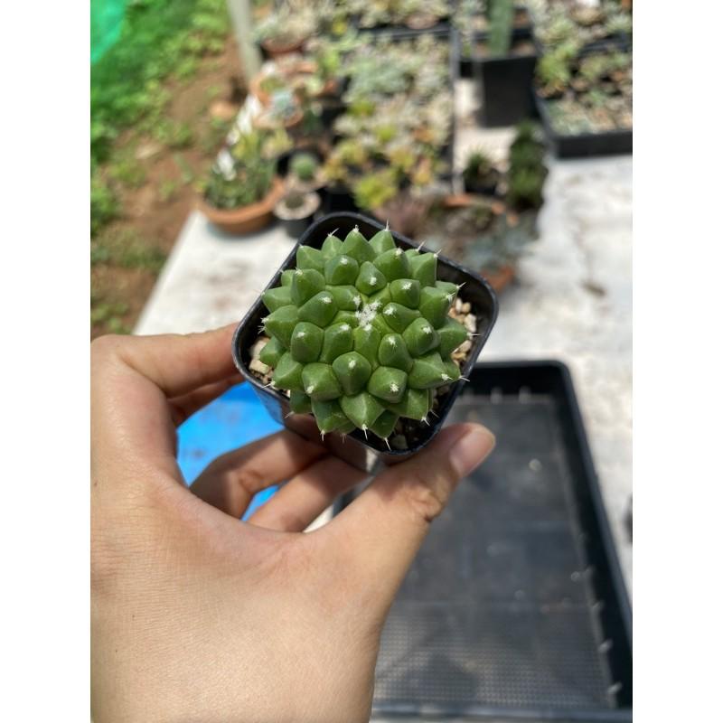 แมมอิรุซามุ.        cactus