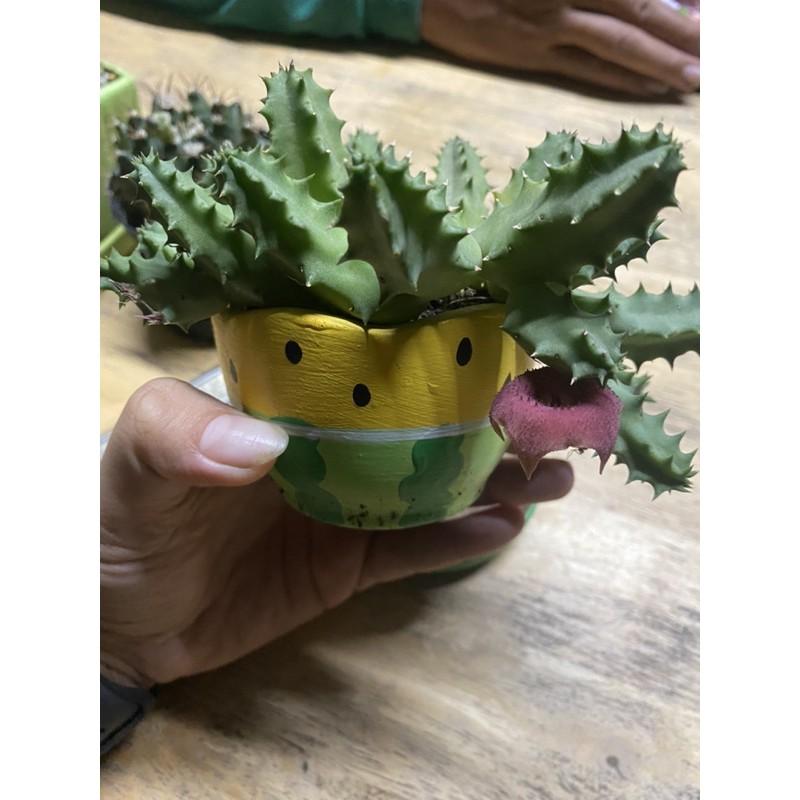 แคคตัส เก๋งจีน ดอกโดนัทสีแดง (เด็ดสด) cactus