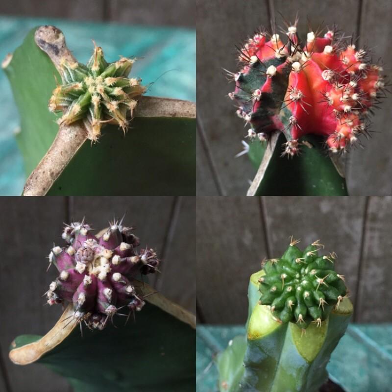ยิมโนด่าง แอลบีด่าง ยิมโนกราฟ ยิมโนด่างโคลนญี่ปุ่น ยิมโนด่างโคลนไต้หวัน กระบองเพชร แคคตัส cactus ไม้กราฟ ยิมโนคริส
