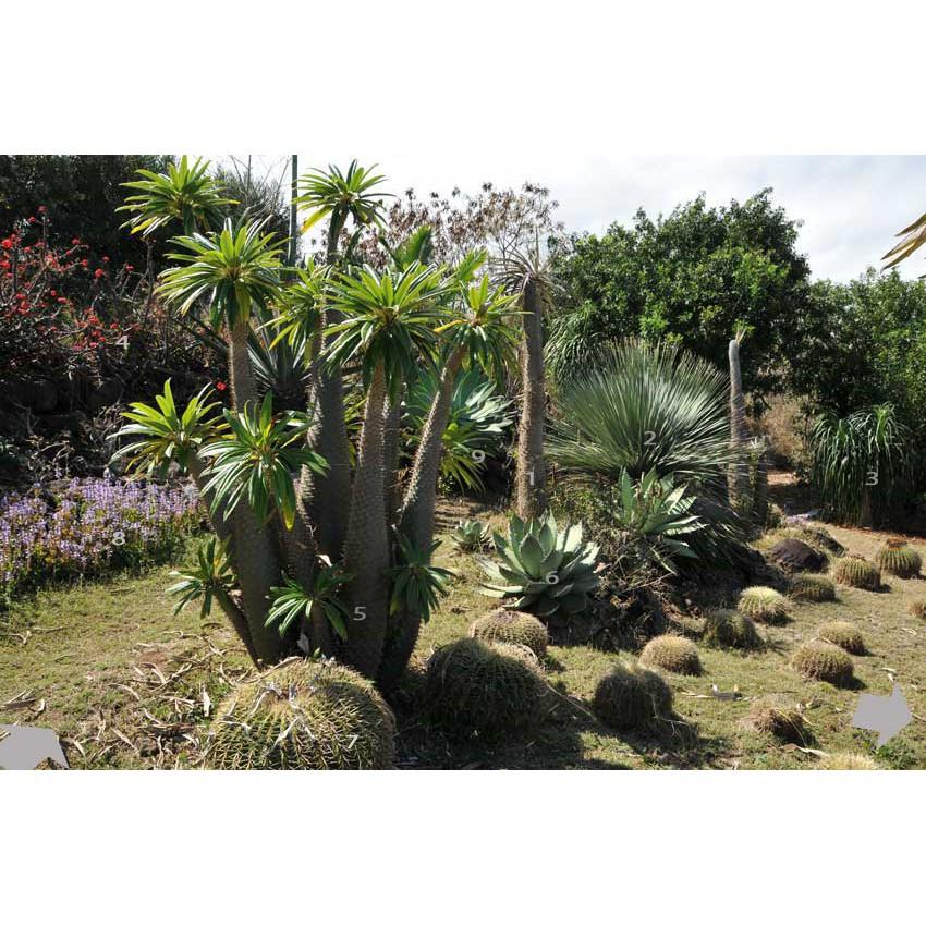 เมล็ด แคคตัส Cactus ไม้อวบน้ำ Pachypodium Lamerei (Madagascar Palm) (10 seeds)
