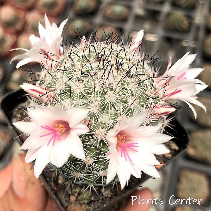 กระบองเพชร แคคตัส cactus Mammillaria slevinii 5-6cm