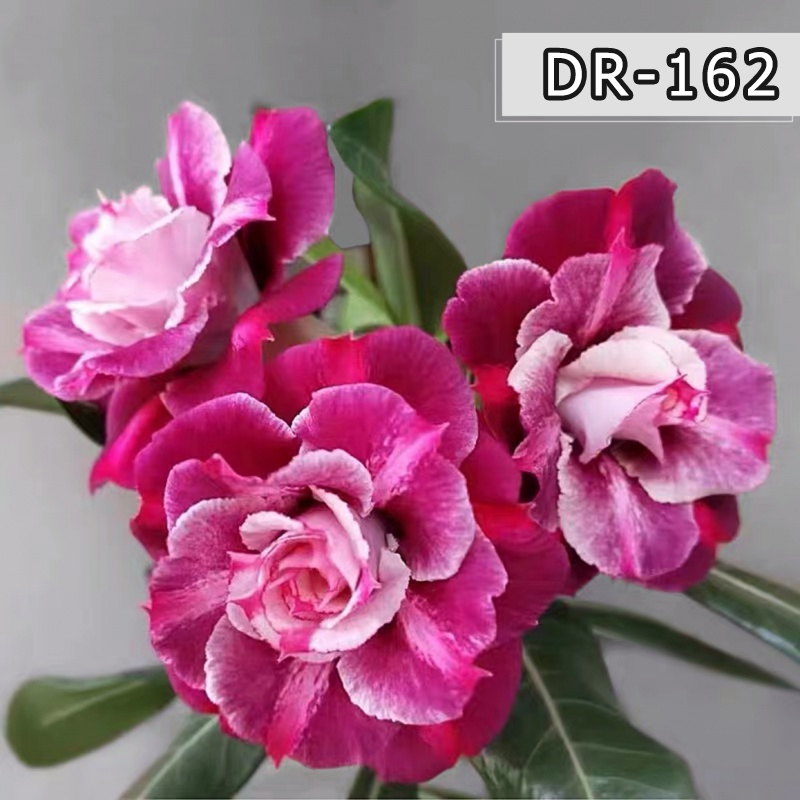 เมล็ดพันธุ์ดอกไม้หลากสีม่วงชมพูกุหลาบทะเลทรายเมล็ดพันธุ์ไม้อวบน้ำ - พันธุ์ # DR162
