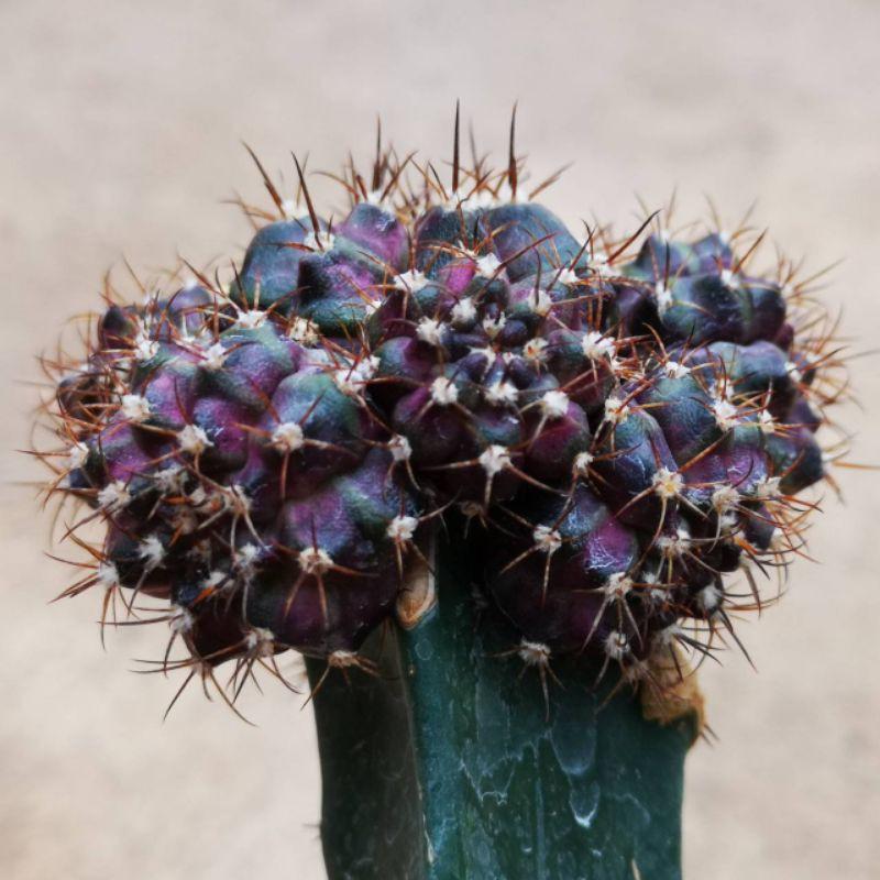หน่อก็อตจิ เด็ดสด กระบองเพชร แคคตัส ไม้อวบน้ำ godji cactus