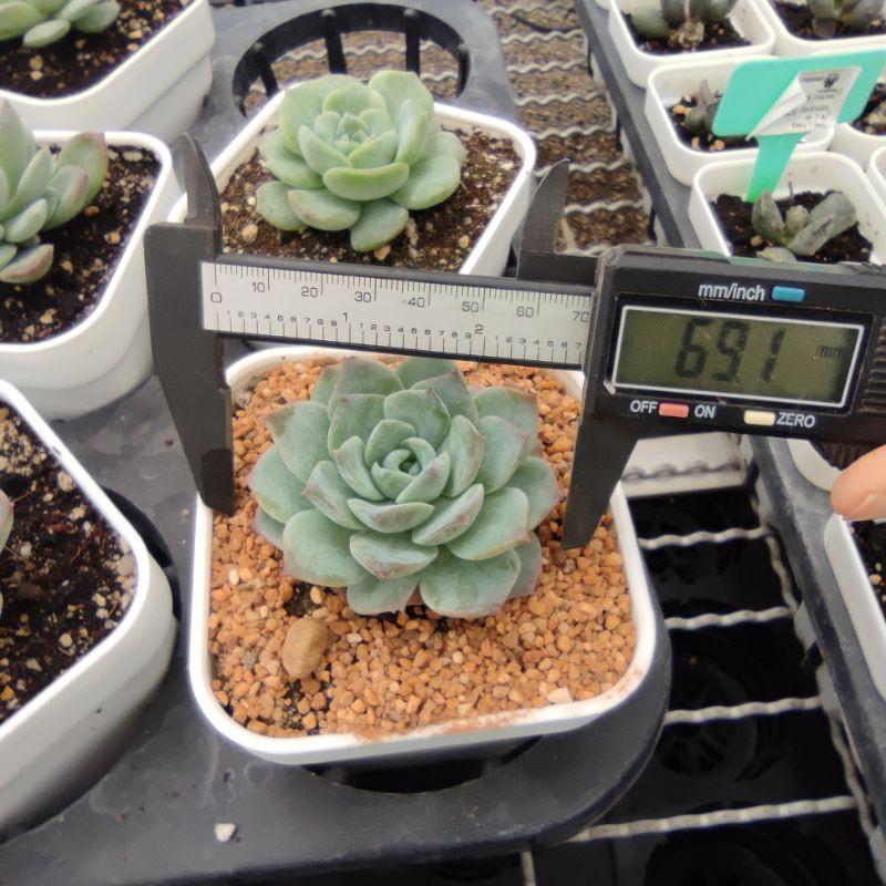 Echeveria Snow Bunny  กุหลาบหินนำเข้า ไม้อวบน้ำ Live Succulents Plant