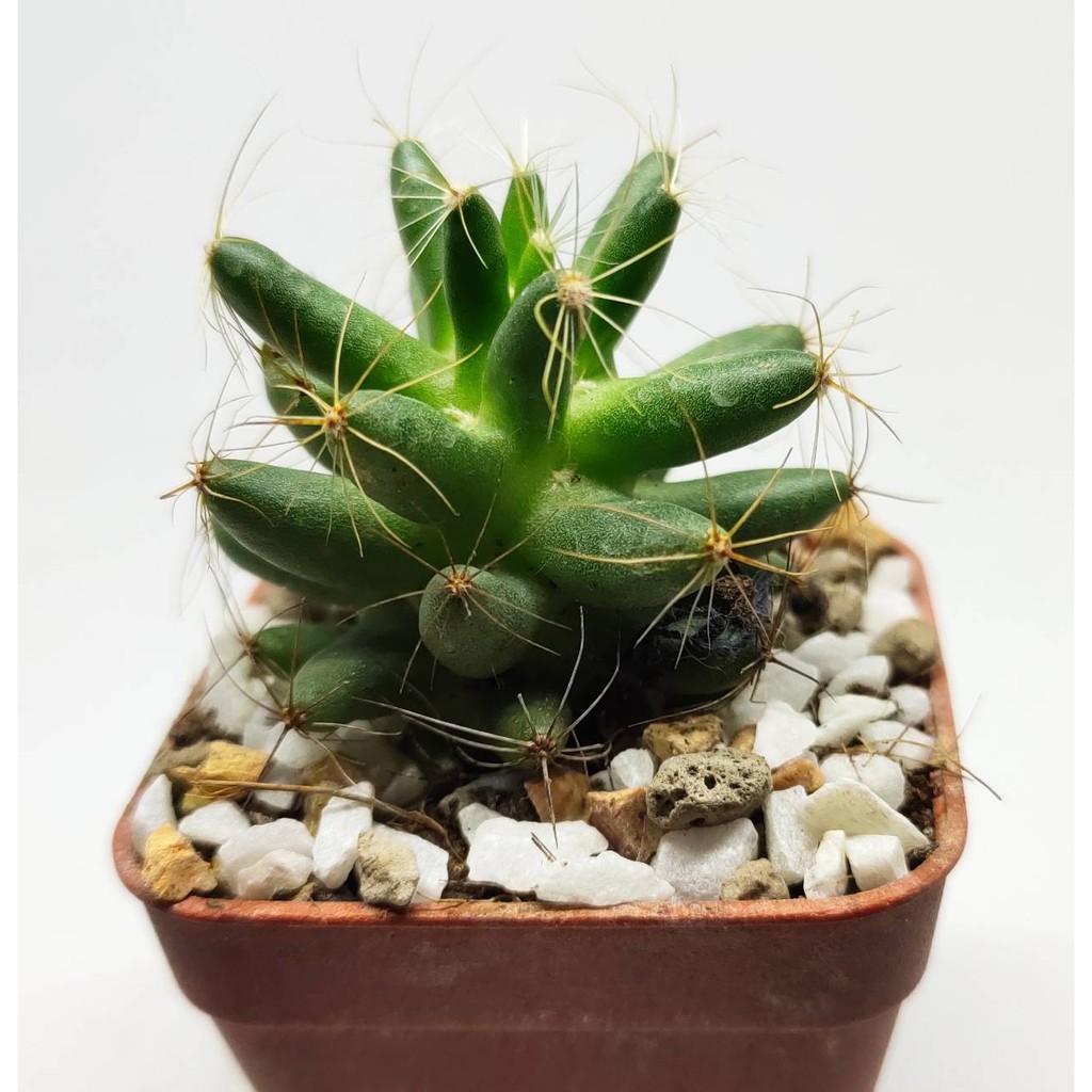 แมมกล้วยหอม (Mammillaria longimamma) ขนาดประมาณ 5 เซนติเมตร #cactus #แคตตัส #กระบองเพชร #ไม้อวบน้ำ