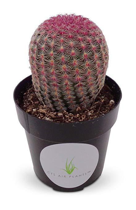10ต้น/ชุด กระบองเพชร แคคตัส Cactus : Rainbow Cactus Echinocereus rigidissimus เรนโบว์ สวยงาม สีสด ตามรูป ต้นกำลังสวย ขนา