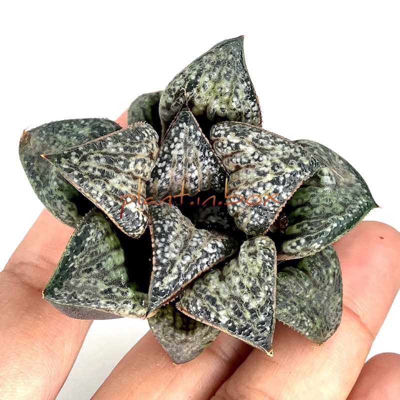 [6-7 cm] ฮาโวเทีย H. splendens hybrid'Hanaaoi' #haworthia #sacculants #ไม้ประดับ #ไม้อวบน้ำ